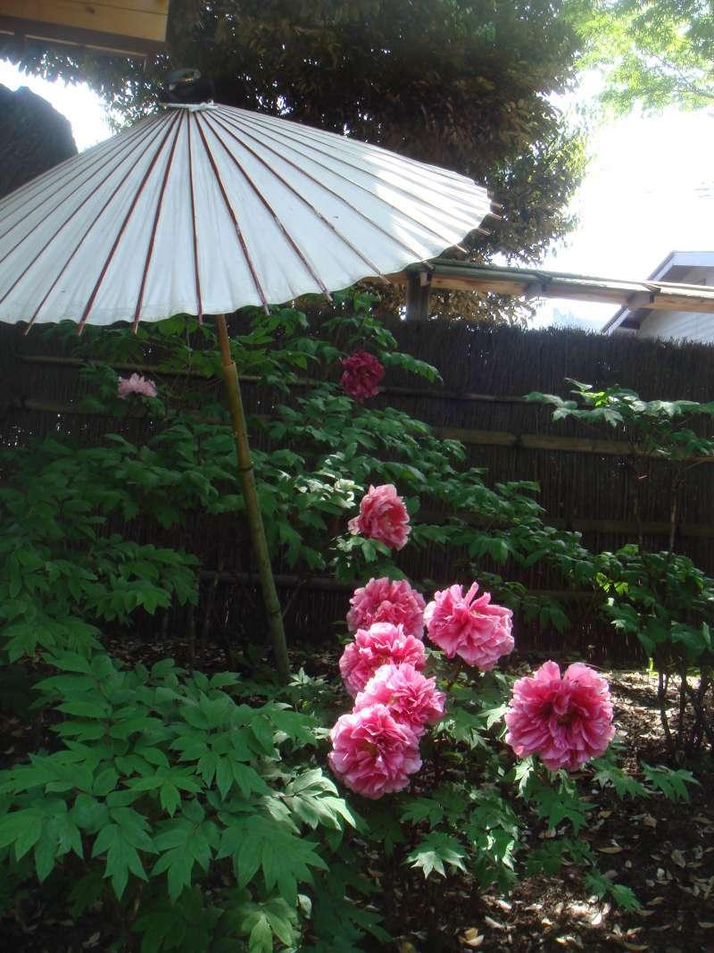 Elegant Japanese peony flower, called Botan flower, inside Tsurugaoka Hachimangu shrine, is in full bloom in May.