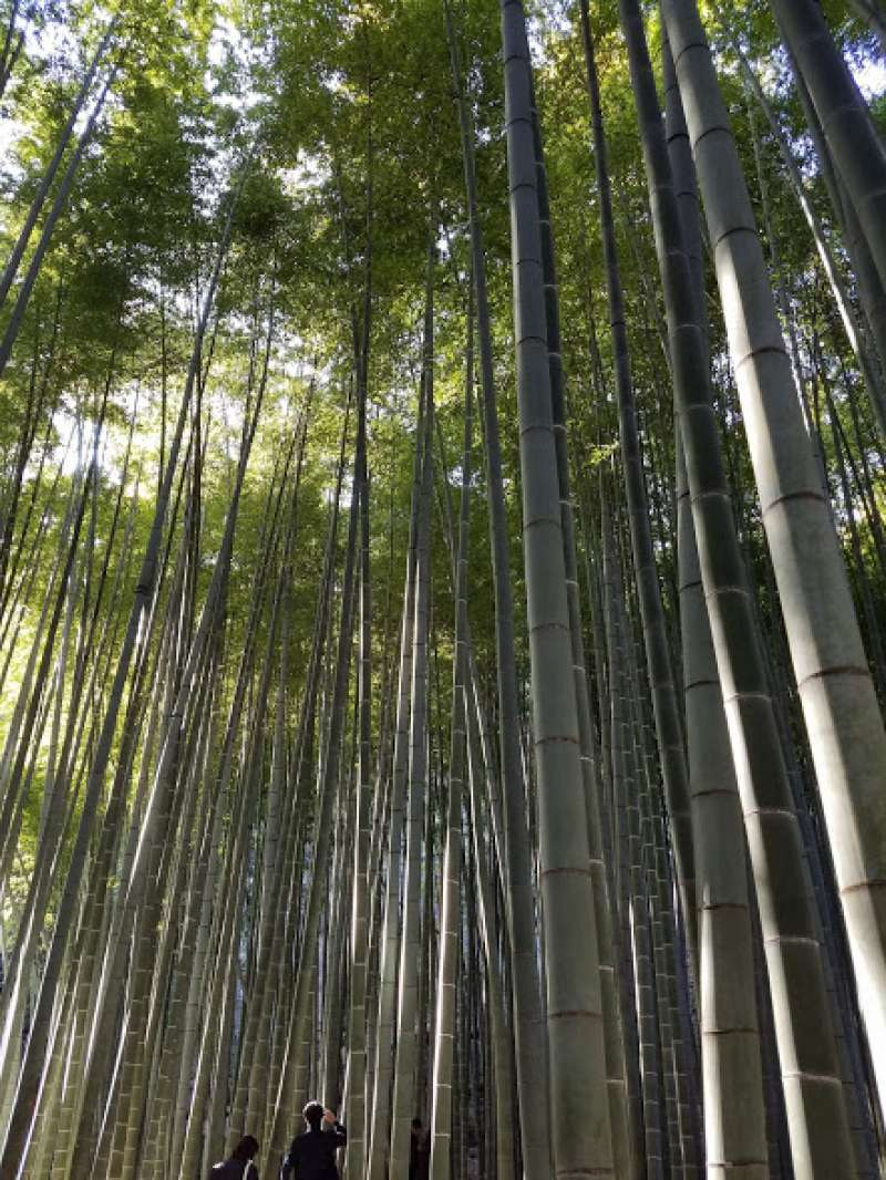 Bamboo garden of Hokokuji temple in Kamakura.