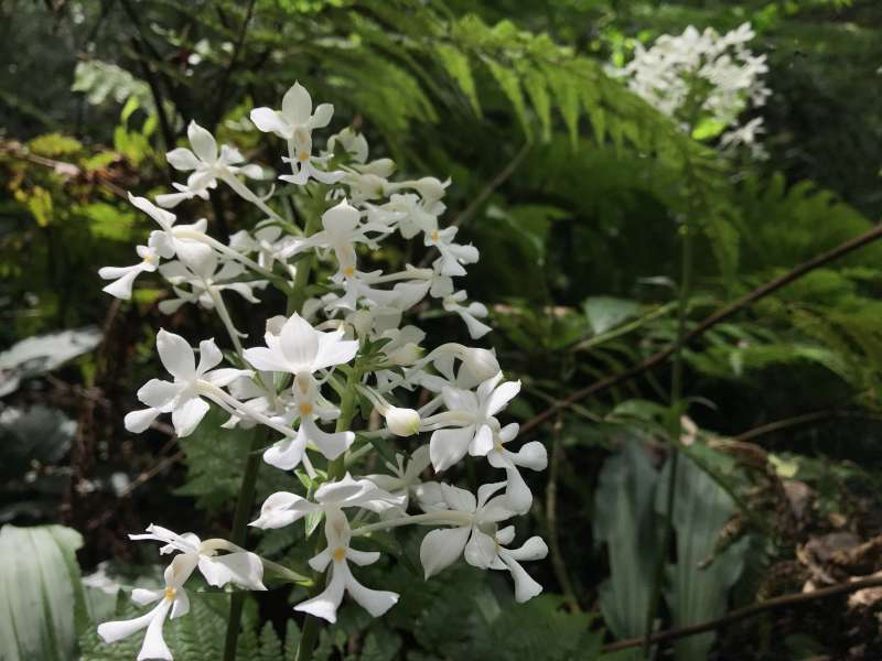 Amamiian orchid, blooming quietly...