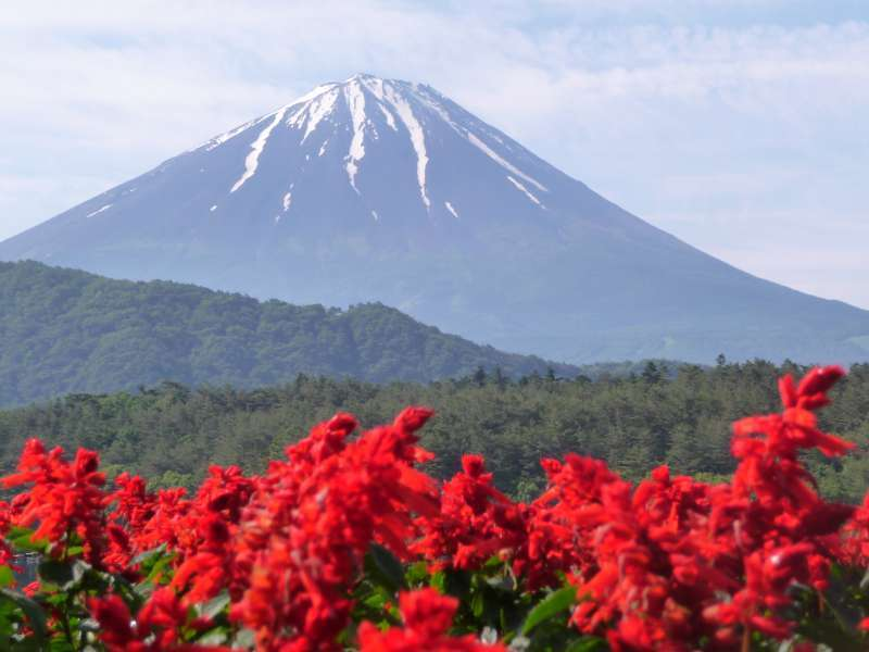 Local people plant flowers on the shore of Lake Saiko. Beatiful combination of Mt. Fuji and flowers. You will see much more white Mt. Fuji from late autumn to late spring.