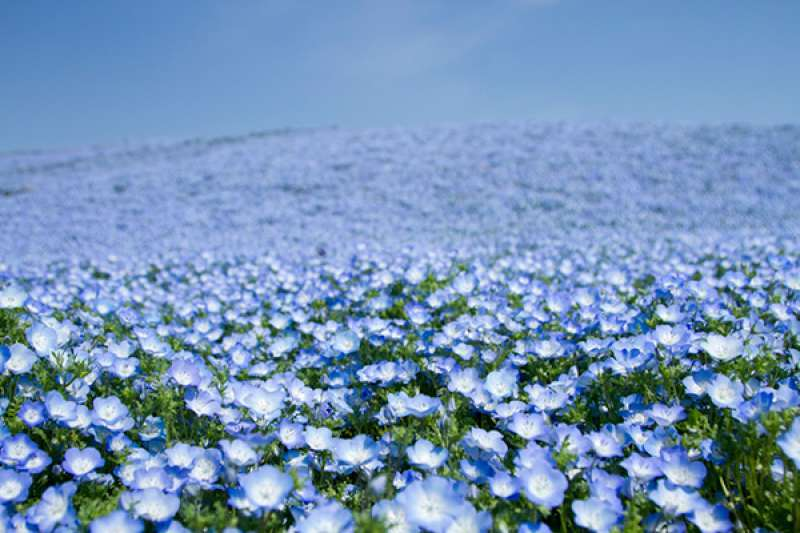 Nemophila ( Early summer), view from hill in Hitachi seaside park