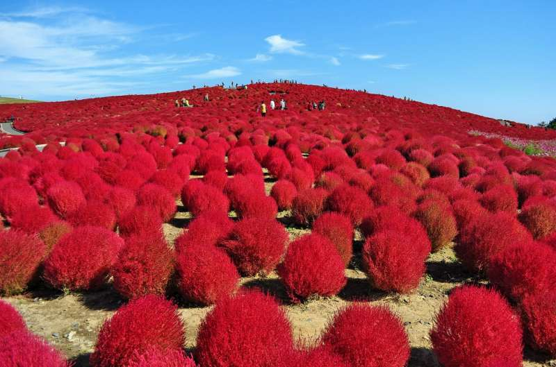 Kochia ( Autumn) hill in Hitachi seaside park