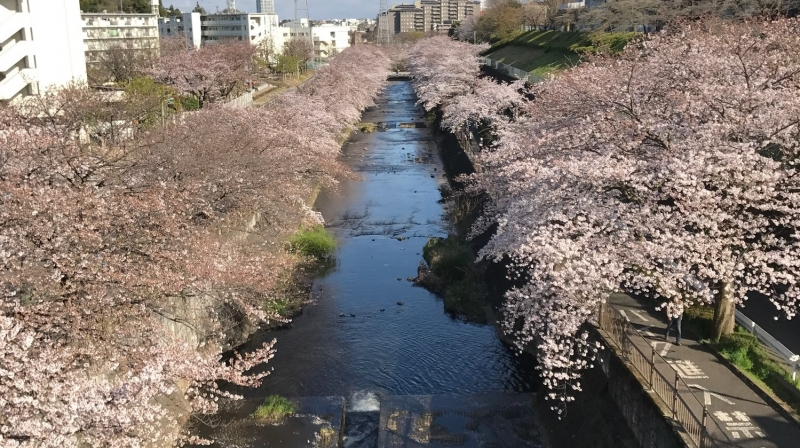 OP-A Walking paths under cherry blossoms, March 28, 2018