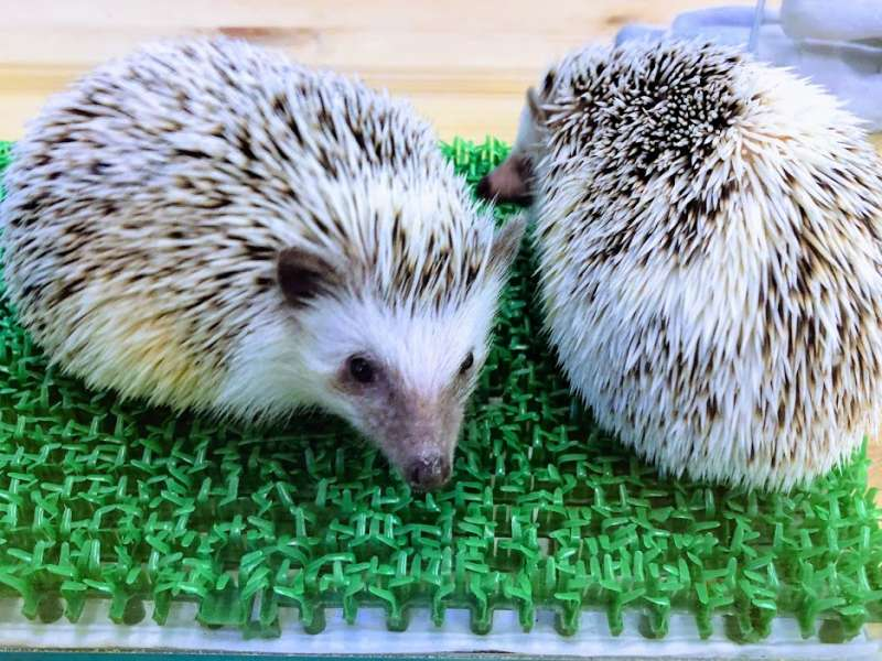 At a Hedgehog Cafe