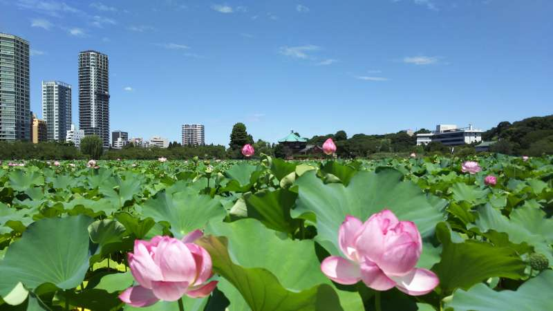 Shinobazu pond's beautiful lotus. (Ueno park)