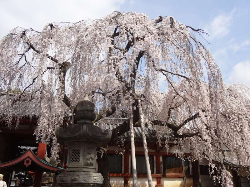 Cherry blossom at Himura Shrine. This is a part of Nara Park, and located at the next to Todaiji Temple.