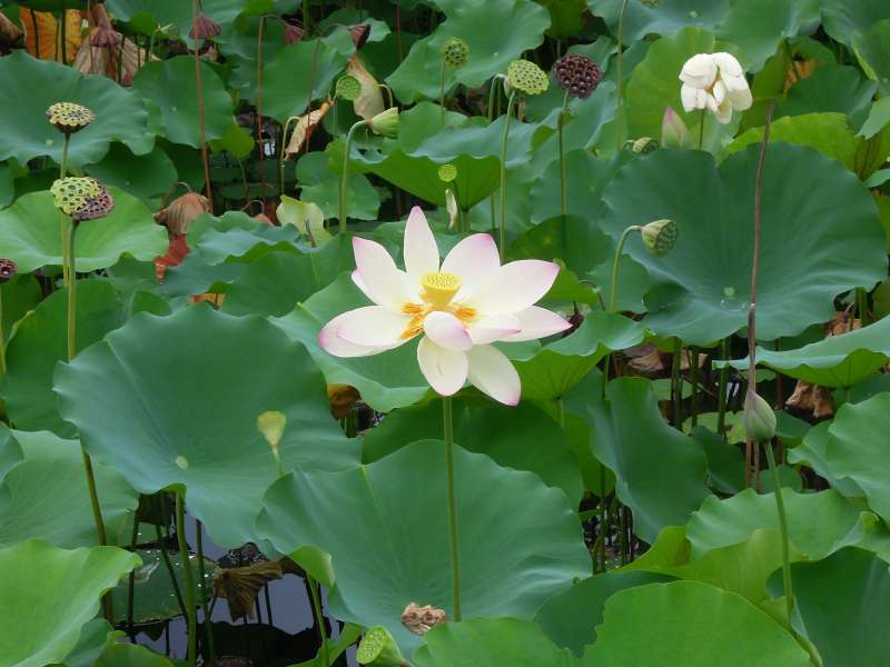 Lotus flowers in bloom at Tenryu-ji Temple