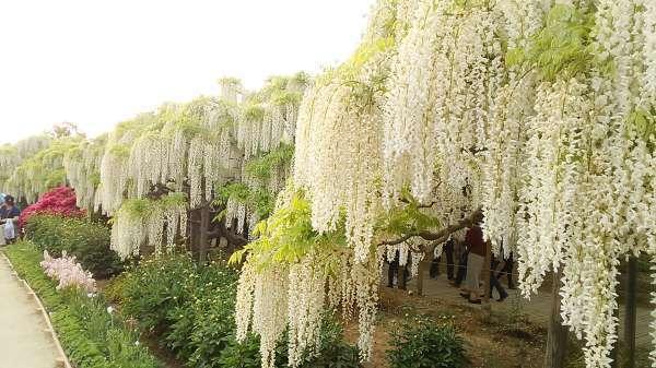 White wisteria in Ashikaga Flower Park
