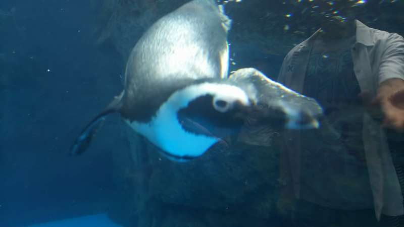 Swimming penguin!