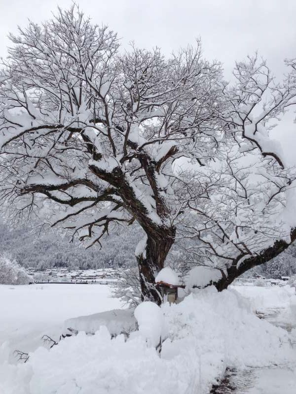 "[Feb.] The Willow Tree Standing in Heavy Snow with Great Dignity, on Which the Angel Hung Her Plumage (From ""Plumage Legend"")"