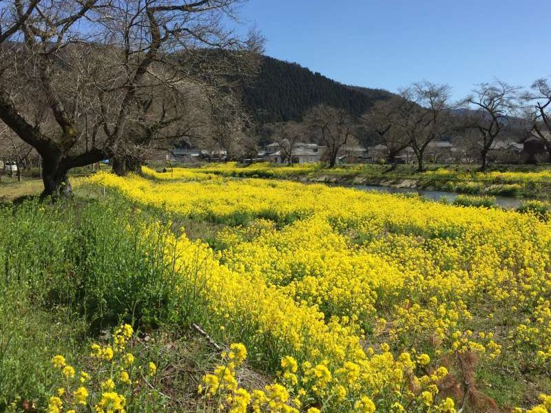 [Mar.] Yellow Field Mustard along the Yogo River, a Symbol of Early Spring
