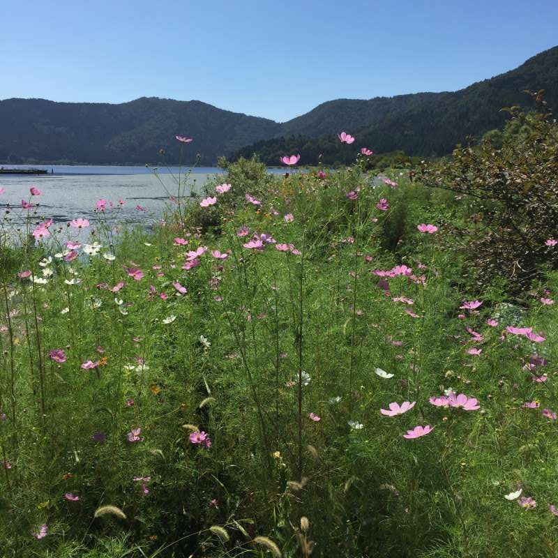 [Sep.] Mexican Aster Blossoms at Lake Yogo