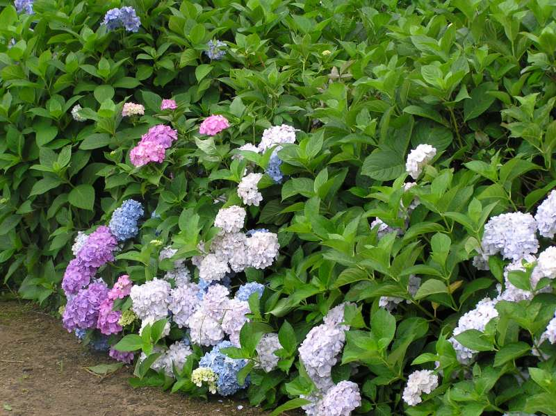 [July] Hydrangea Garden at Yogo Lakeside (1 of 2)