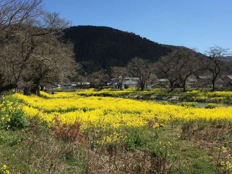 [Mar.] Yellow Field Mustard along the Yogo River, a Symbol of Early Spring (1 of 2)