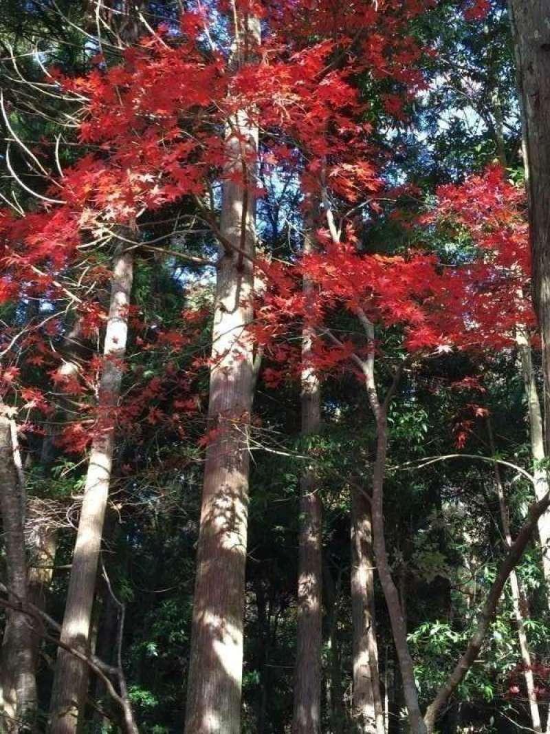 [Nov.] Autumnal Leaves at Keisoku-ji Temple (1 of 2)