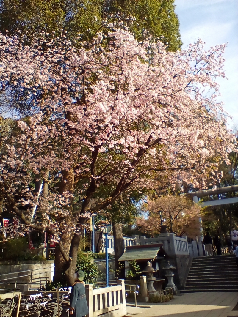Ookanzakura (March 3, 2020)