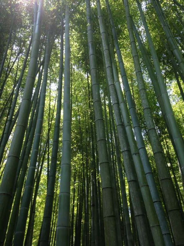 Bamboo forest at Hokokuji temple (C1)
