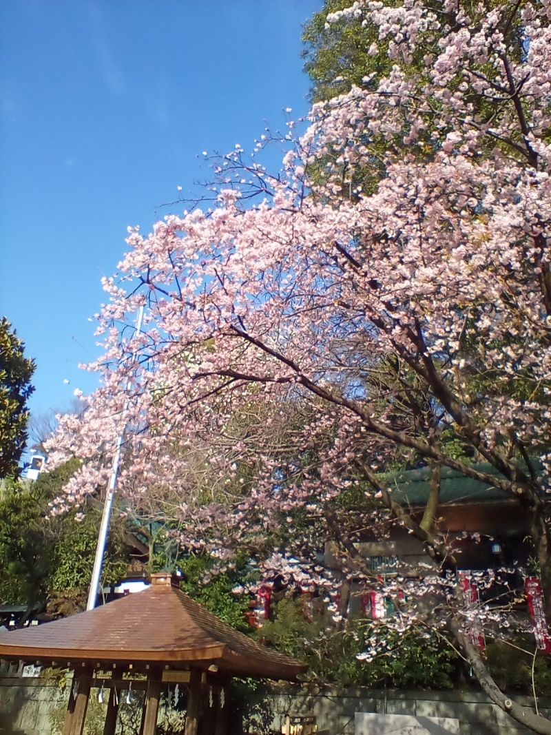 Ookanzakura (March 3, 2020)