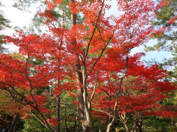 Changing colors of autumn leaves at Kinkakuji Temple