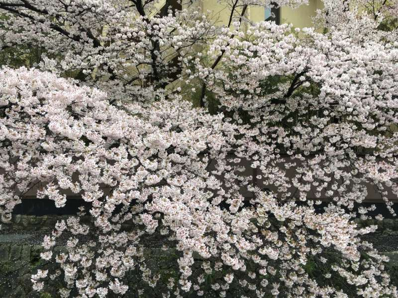 cherry blossoms in full bloom near Heian Jingu Shrine