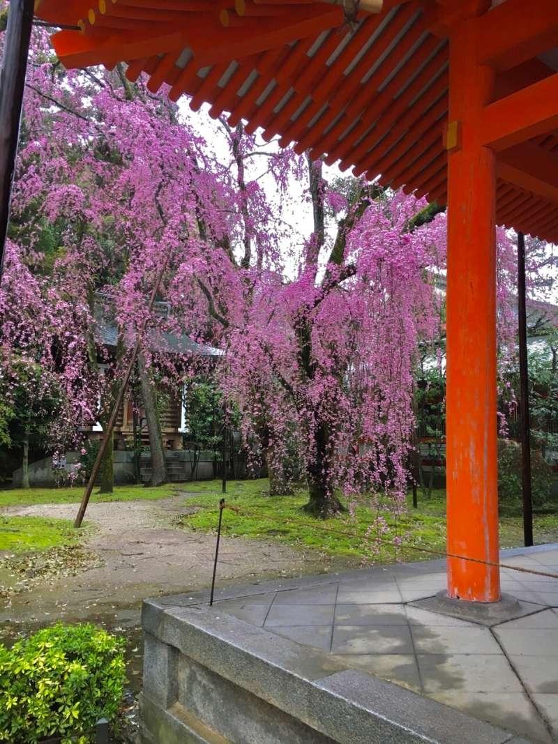 weeping cherry blossoms at Shin-en in Heian Jingu Shrine
