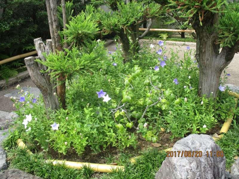 Kikyo or Chinese bellflower