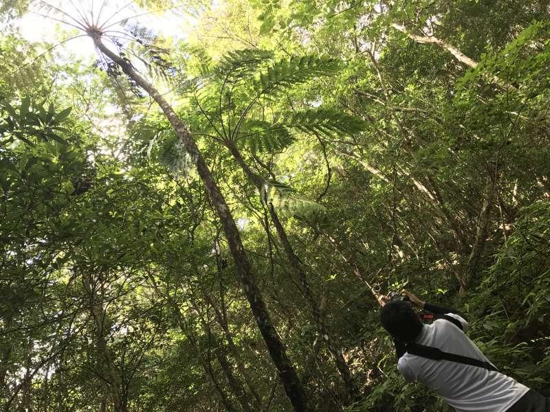 Flying spider monkey tree ferns, the biggest tree fern, at Kinsakubaru primeval forest.