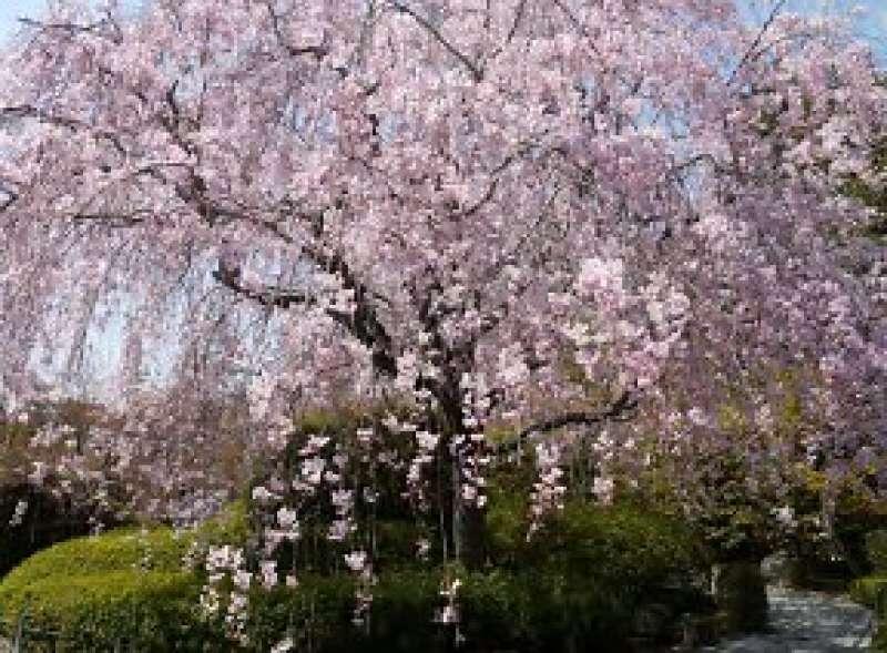 breathtaking cherry blossoms