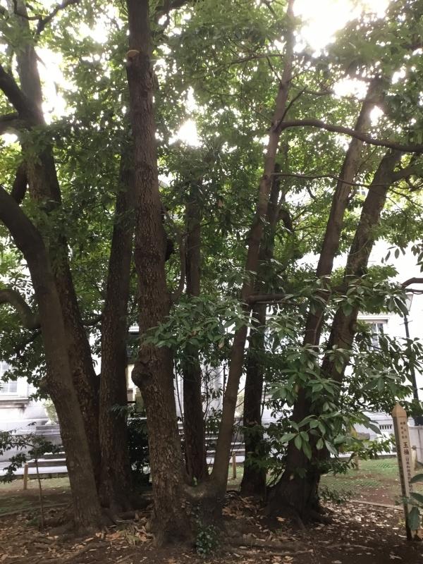 Tamakusu Tree ; The symbol tree of Yokohama Port Opening. The tree has been watching Yokohama for 160 years.