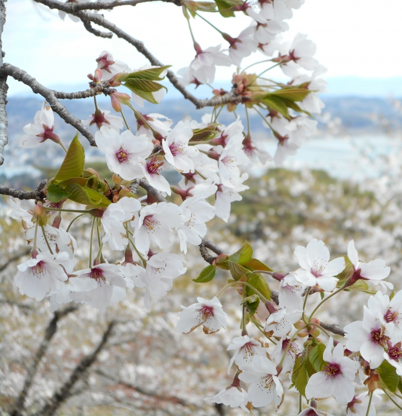 In spring, you can see cherry blossoms on a hill.