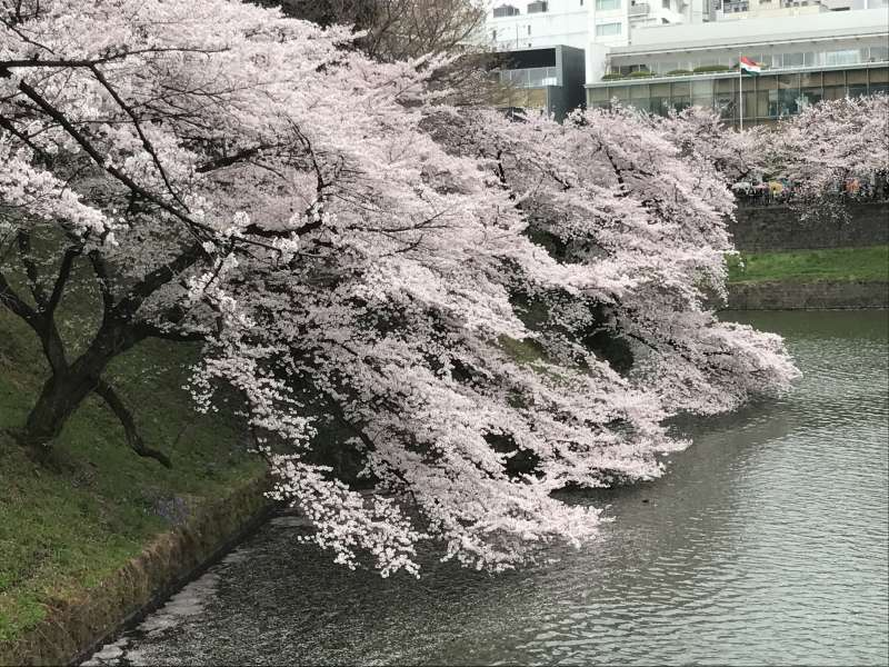 cherry blossoms at Chidori-gafuchi (a moat at the former Edo Castle)