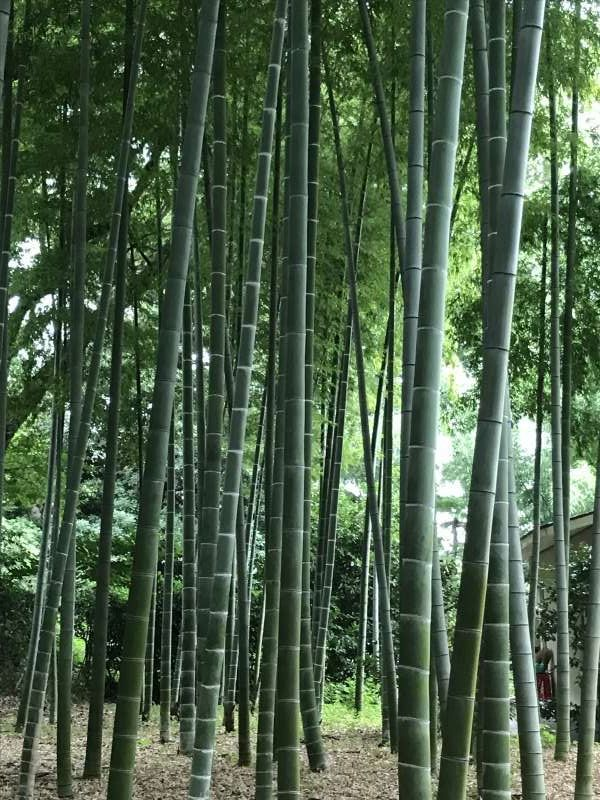 Bamboo trees at the East Garden of the Imperial Palace