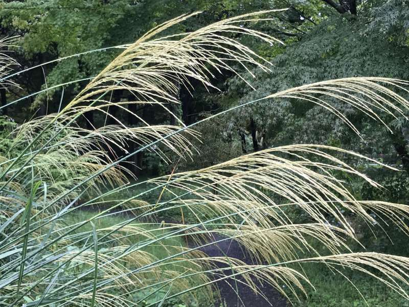 Beautiful silver grass at the East garden of the Imperial Palace