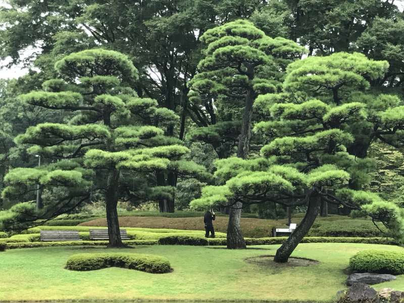 Pine trees at the East garden of the Imperial Palace