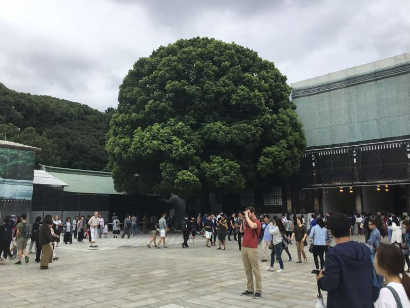 Couple of camphor tree that promise your happy marriage
