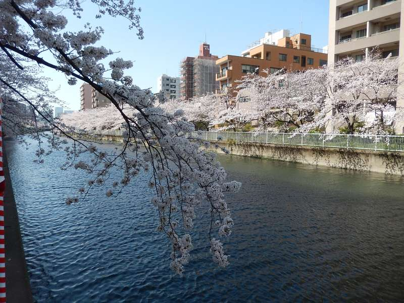 We can see cherry blossoms near the Tomioka Hachimangu shrine in spring.