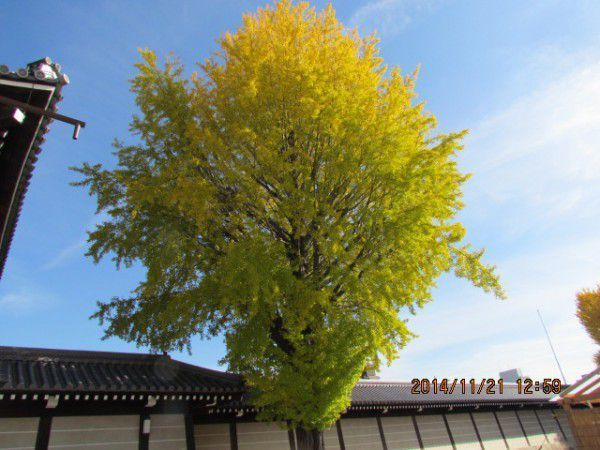Beautifully changing colors of autumn leaves at Nishi Hionganji Temple