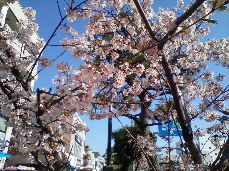 Tamanawazakura: Sakura made in Kawakura (Feb.21,2020)