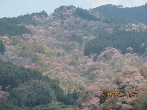 Cherry blossomViewing