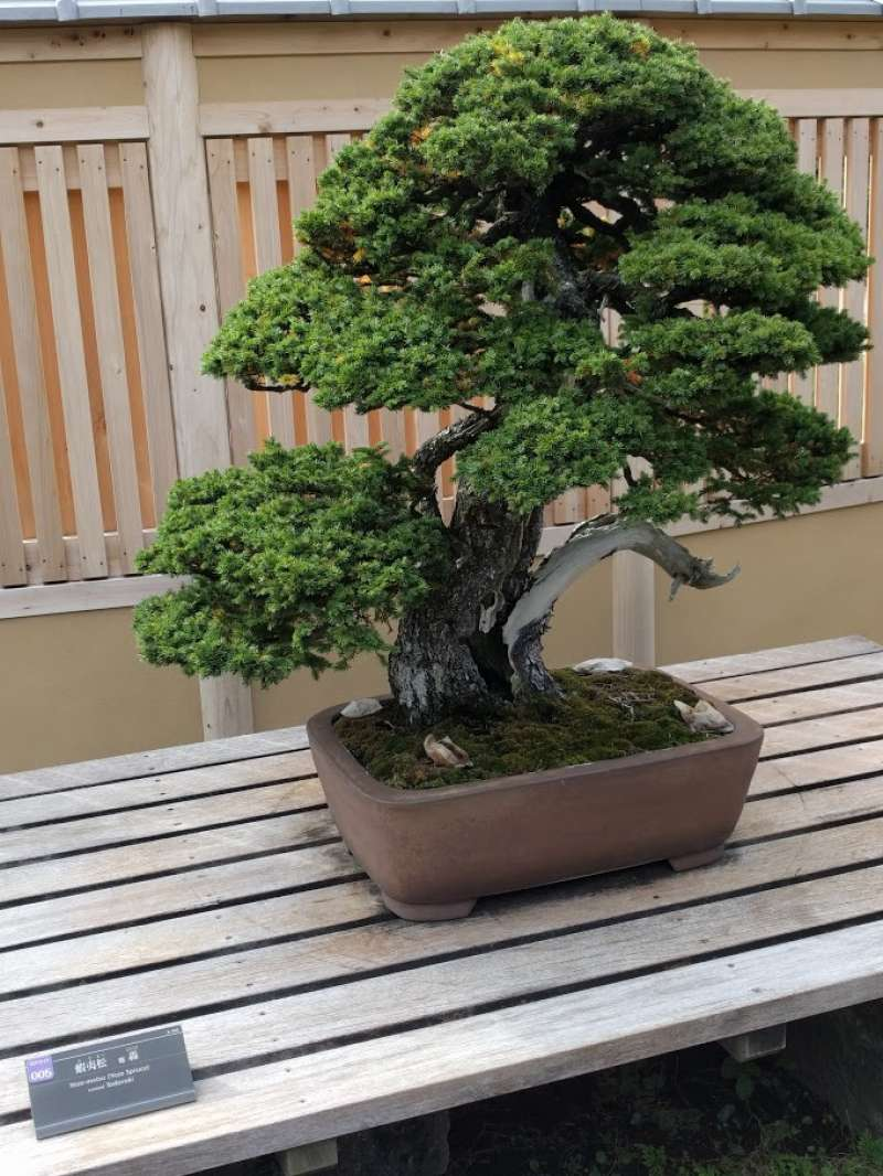 the oldest bonsai tree in the bonsai museum . the age of tree→over 1000 years