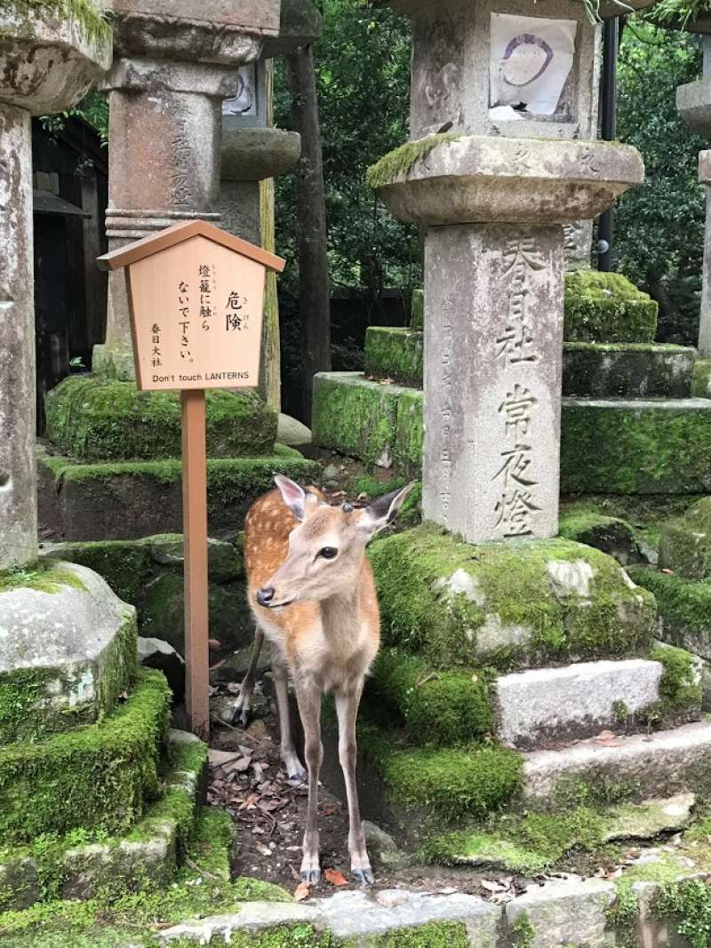 A deer suddenly appears between shrine stone lanterns.