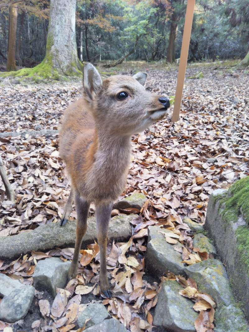 One of the 1,500 deer in Nara Park
