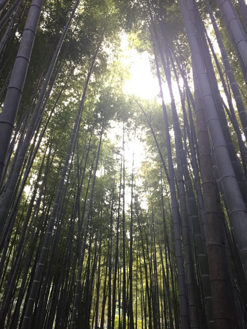 Bamboo tree forests at Hokokuin Temple.
