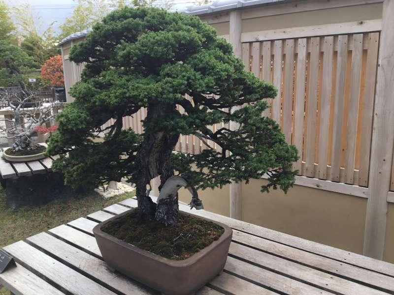 Shohaku Bonsai by conifers of pines with deep green foliage