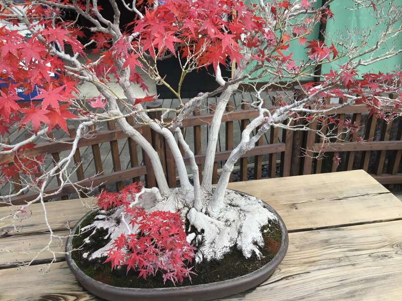 "One type of Bonsai called "" Zoki Bonsai "" which display color changes for each season"