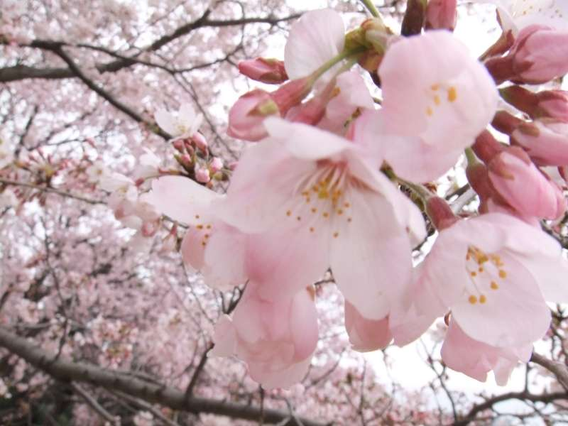Graceful cherry blossoms are here and there in Tokyo from the end of March to the early April.