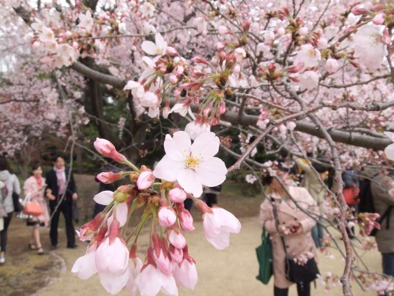 Cherry blossoms tour in Imperial Palace and Japanese garden