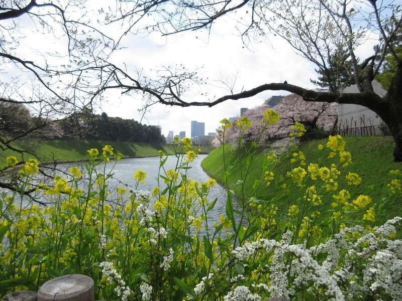 You can see the best combination of rape blossoms and cherry blossoms in this point.
