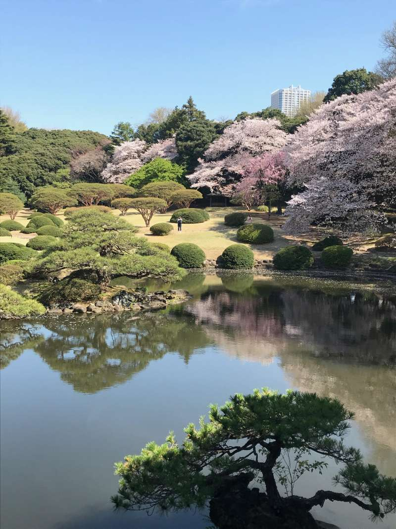 70 varieties of cherry blossoms are blooming one after another between late February and April at Shinjuku Gyoen Garden.(#8)