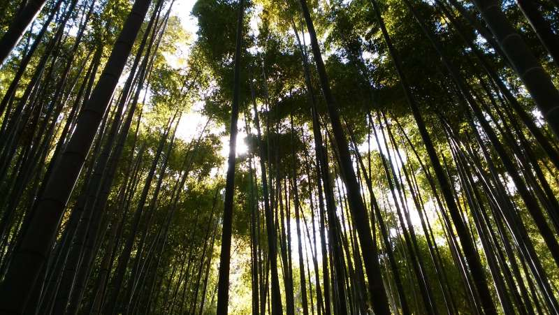 Bamboo woods in Hokokuji temple.  It is said to be a power spot.